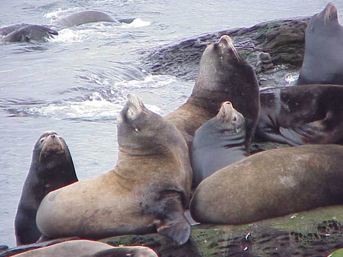 a few of the hundreds of sea lions on Entrance Island